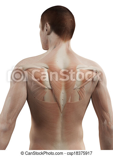 Medical 3d Illustration Male Muscle System Back Muscles Clipart