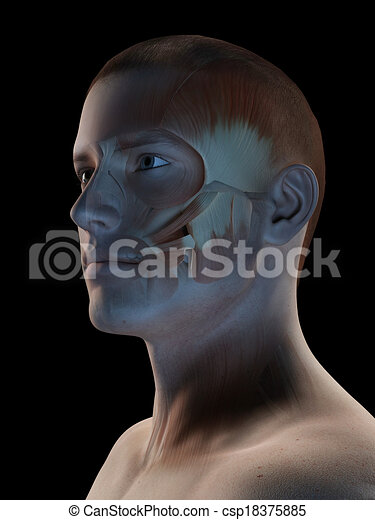 Male muscle system - facial muscles. Medical 3d illustration - male ...