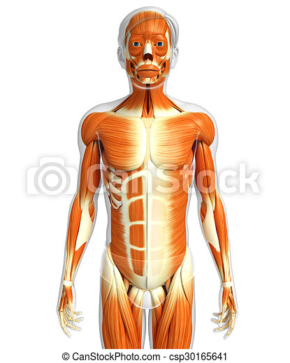 3d rendered illustration of male muscles anatomy.