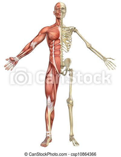 Male Muscular Skeleton Split Front View A Front Split View