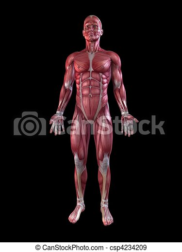 Male muscular system . 3d rendered anatomy illustration of a male ...