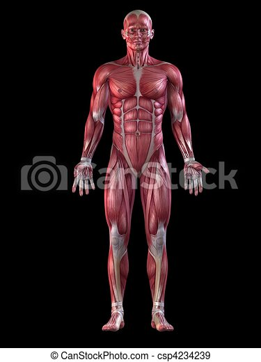 male muscular system  - csp4234239