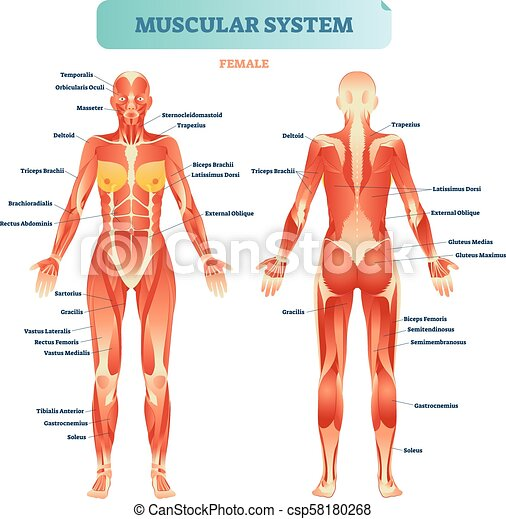 Male muscular system full anatomical body diagram with clip art male muscular system full anatomical body diagram with muscle scheme vector illustration ccuart Images