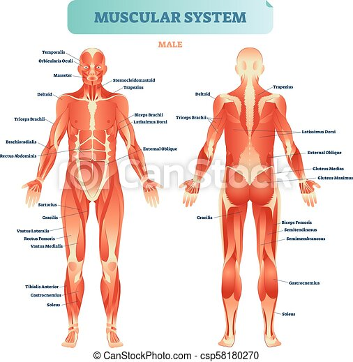 Male muscular system, full anatomical body diagram with muscle ...