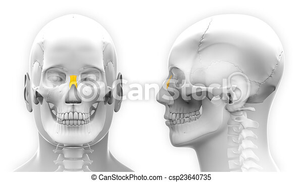 Male nasal bone skull anatomy - isolated on white.