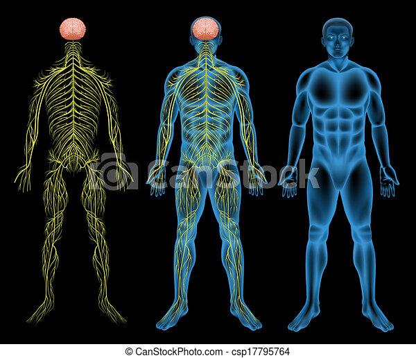 Male nervous system - csp17795764