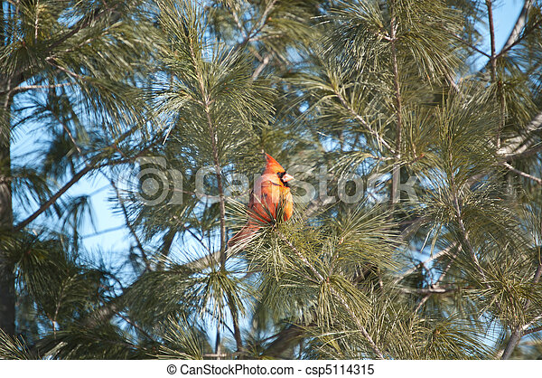 Male Northern Cardinal in a Tree - csp5114315