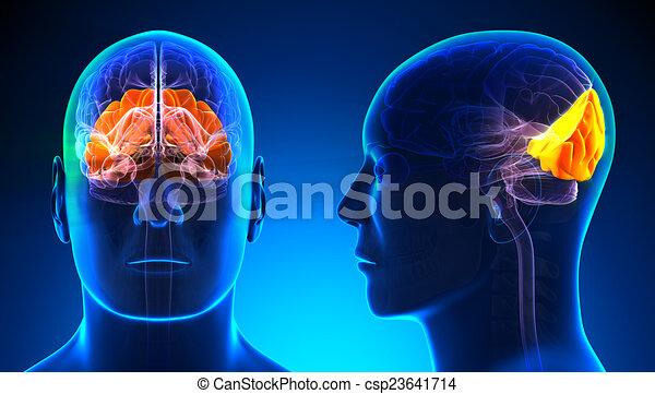 Male occipital lobe brain anatomy - blue concept.