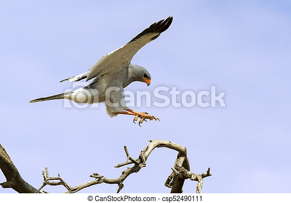 Male Pale Chanting Goshawk jumping in a tree against blue Kalahari sky - csp52490111