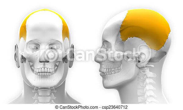 Male Parietal Bone Skull Anatomy - isolated on white - csp23640712