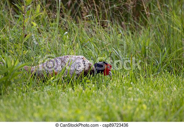 Male Pheasant Eating Grubs - csp89723436