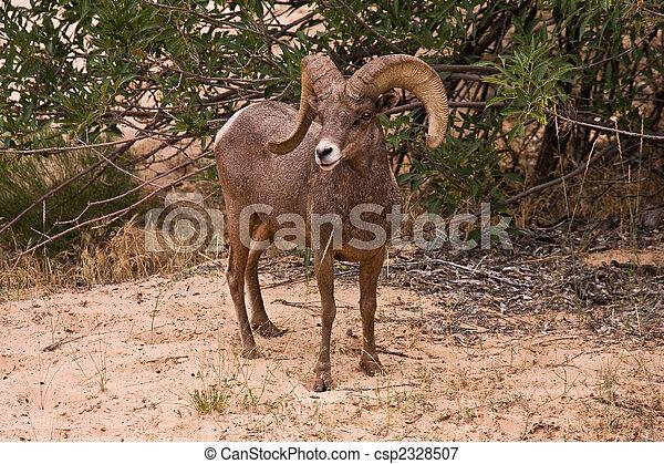 Male Ram Big Horn Sheep - csp2328507