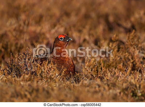 Male red grouse hiding in the field of heather - csp56005442