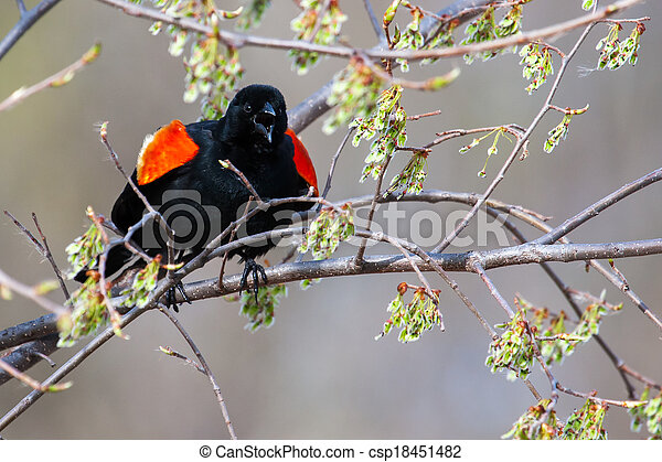 Male Red-winged Blackbird in a tree - csp18451482