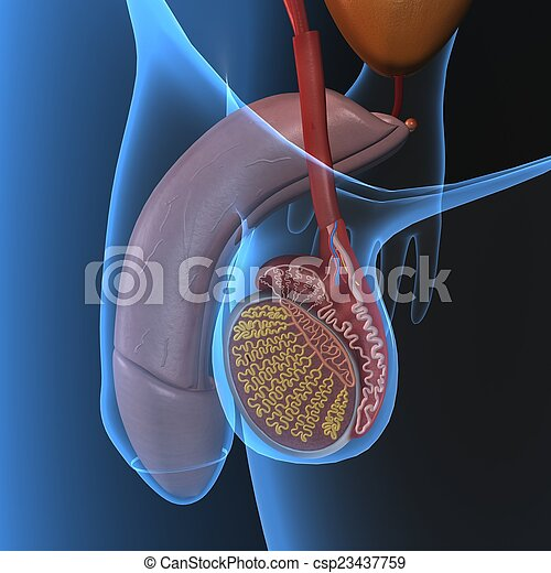 Male reproduction. The male reproductive system consists of a number ...