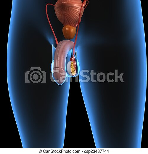 male reproduction the male reproductive system consists