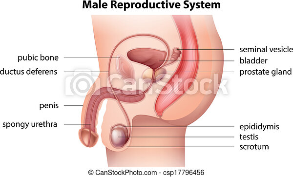 Male reproductive system - csp17796456