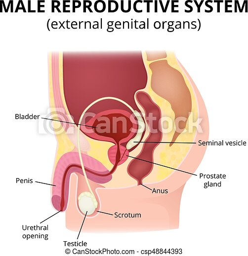 Male reproductive system. Anatomy of male organs, the structure of ...