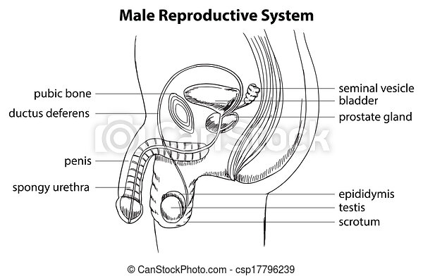 Male Reproductive System Illustration Showing The Male Reproductive