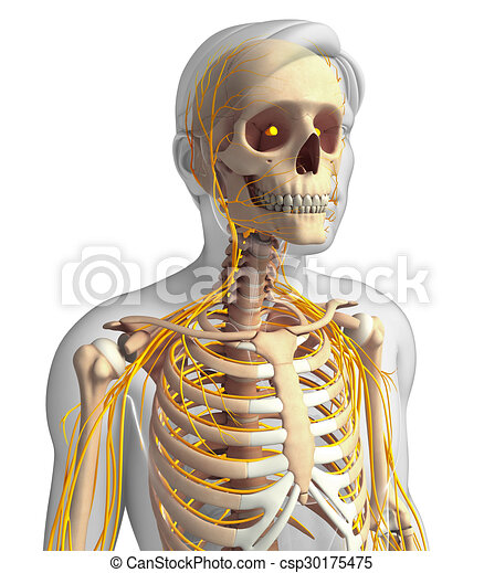 Male Ribcage And Nervous System Artwork Illustration Of Male