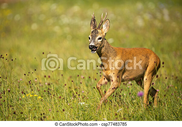 Male roe deer jumping and moving on a green hay field in nature - csp77483785