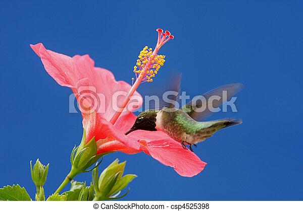 Colibri Hibiscus male ruby-throated hummingbird (archilochus colubris) in flight with