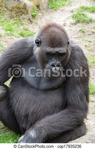 Male silverback gorilla, single mammal on grass - csp17935236