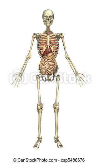 Male skeleton with internal organs. A male human skeleton with ...
