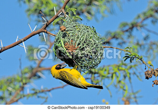 Male Southern Masked Weaver building nest - csp19100349