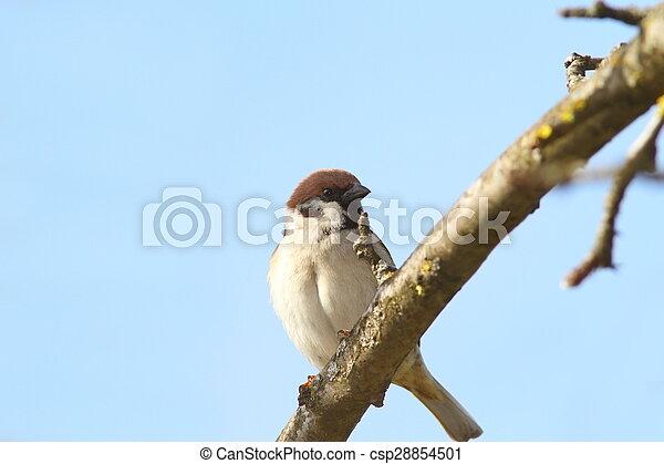 male sparrow close up - csp28854501