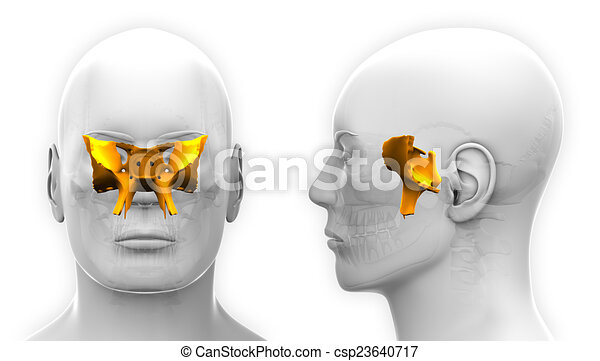 Male Sphenoid Skull Anatomy - isolated on white - csp23640717