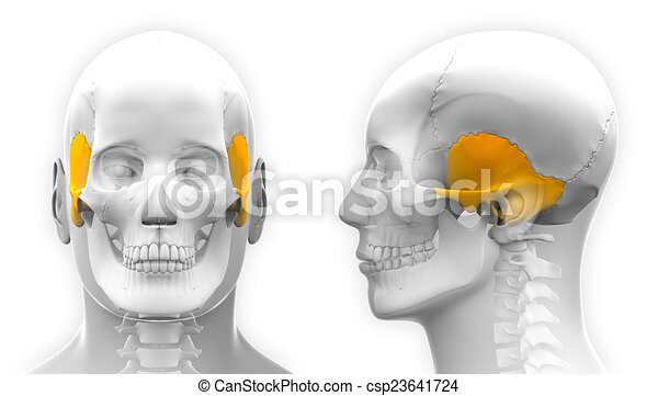 Male Temporal Bone Skull Anatomy - isolated on white - csp23641724