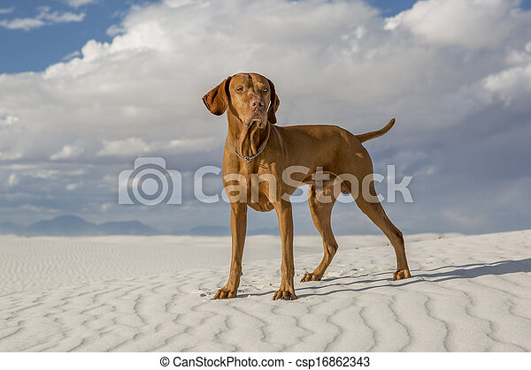 male vizsla dog outdoors - csp16862343