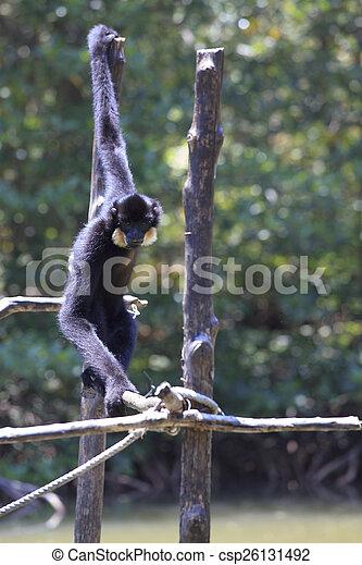 male White-cheeked gibbon (Nomascus leucogenys) - csp26131492