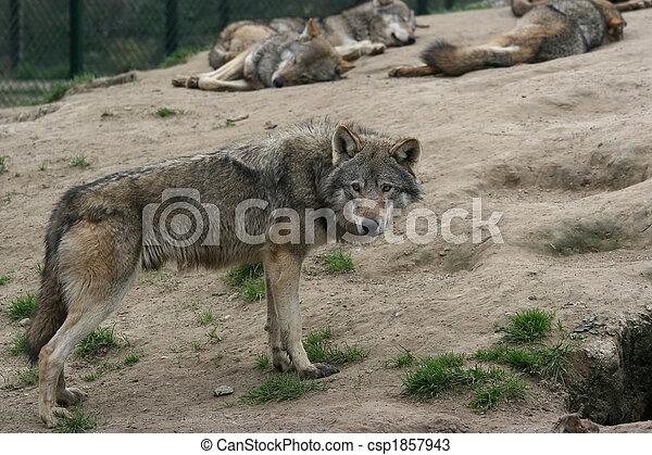 male wolf - csp1857943