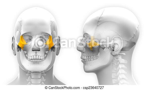 Male Zygomatic Bone Skull Anatomy - isolated on white - csp23640727