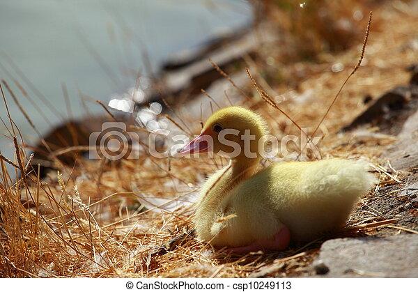 Mallard duck and baby ducklings .