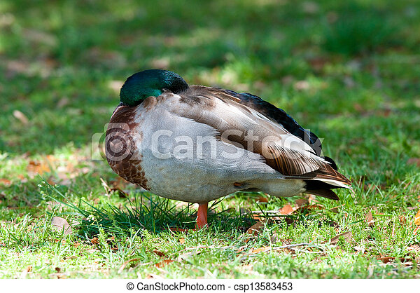 Mallard duck sleeping - csp13583453