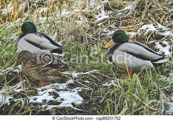mallard ducks on a river shore - csp89231702