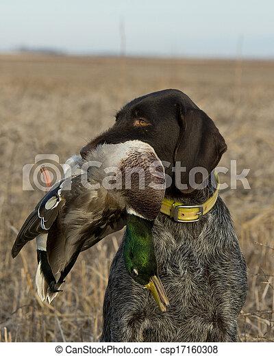 Mallard Hunting - csp17160308