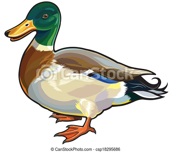 mallard wild duck male side view picture isolated on white vector rh canstockphoto ie