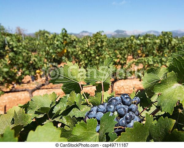 Mallorca vineyard - csp49711187