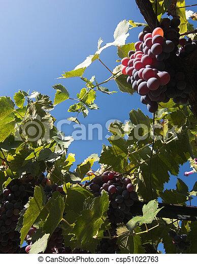 Mallorca vineyard - csp51022763
