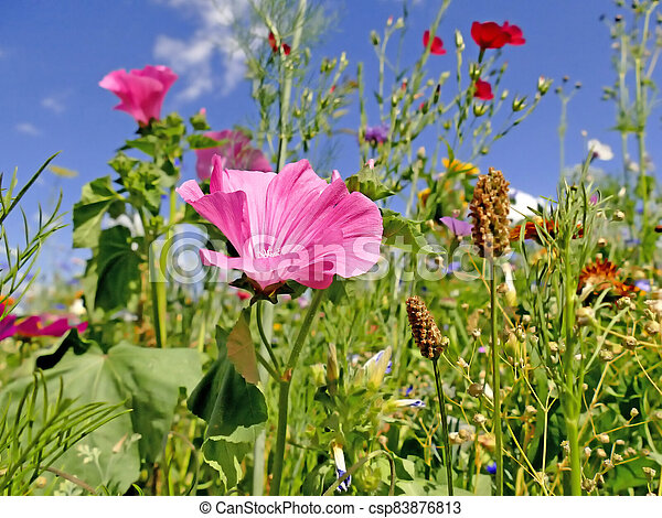 mallow in a meadow with a lot of colorful flowers - csp83876813
