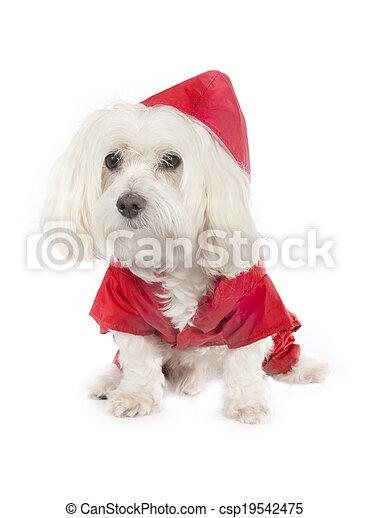 Maltese dog - csp19542475