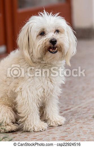 Maltese dog - csp22924516
