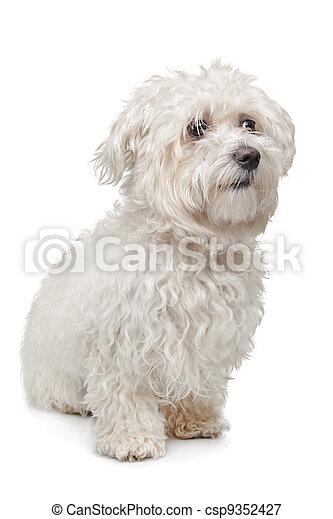 Maltese dog - csp9352427