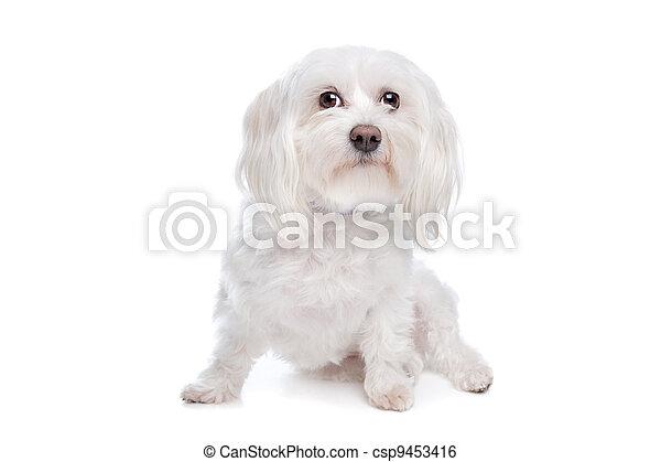 Maltese dog - csp9453416