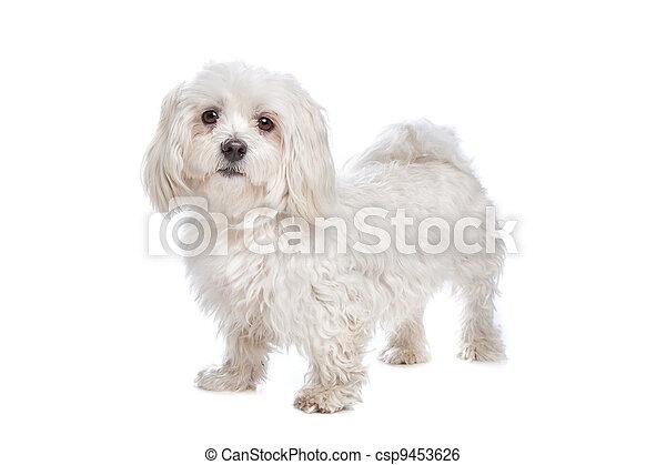 Maltese dog - csp9453626