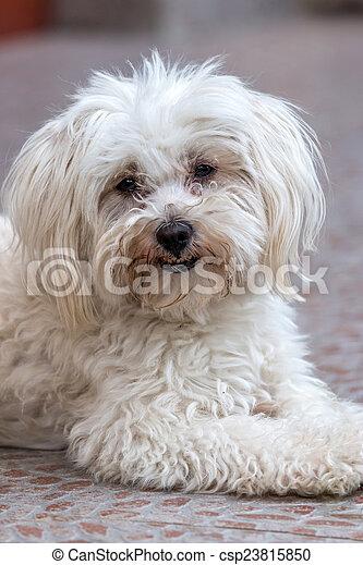 Maltese dog  - csp23815850